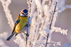 Frosty Blue Tit Royalty Free Stock Photography