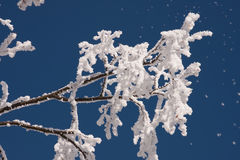 Frosty branch against blue sky Stock Image