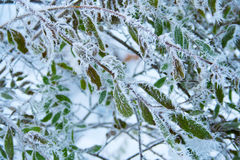 Frosty branch Royalty Free Stock Image