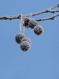Frosty branch of platan. Tree over blue sky Stock Photography
