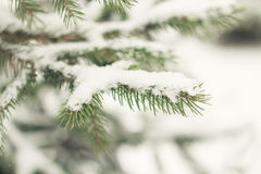 Frosty Branch with Snow in Winter Stock Image