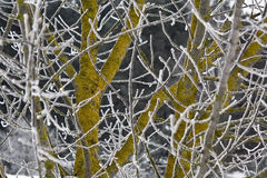 Frosty branches. And yellow-green bark Stock Photos
