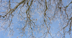 Frosty branches Royalty Free Stock Photography