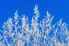 Frosty branches. On a blue sky background during winter Stock Images