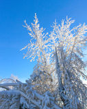 Frosty branches in the sunlight Royalty Free Stock Photos