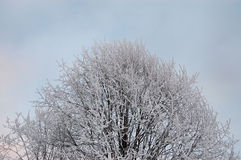 Frosty branches Royalty Free Stock Photo