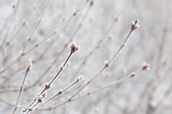 Frosty branches. Winter background: buds covered in hoarfrost Royalty Free Stock Photos