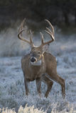 Frosty Breath of rutting whitetail buck Royalty Free Stock Photos