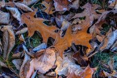 Frosty Brown Leaves en la tierra de la hierba verde Imagen de archivo
