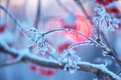 Frosty bush. Of ashberries at sunset Royalty Free Stock Photos