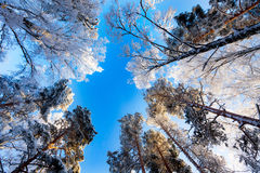 Frosty canopy of trees and bright blue sky. Frosty canopy of trees against bright blue sky stock photography