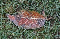 Frosty cherry tree leaf. Frosty cherry tree leaf on the grass, England, UK, Western Europe Stock Photos