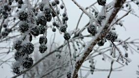 Frosty chokecherry tree and berries Royalty Free Stock Photo