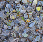 Frosty Colorful Autumn Leaves as Textured Background Royalty Free Stock Photography