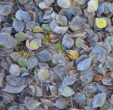 Frosty Colorful Autumn Leaves som texturerad bakgrund Royaltyfri Fotografi