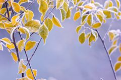 Frosty colourfull autumn leaves Stock Photo