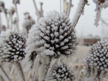 Frosty Cone Flower Stockbilder