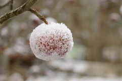 Frosty covered apple outdoor Stock Image