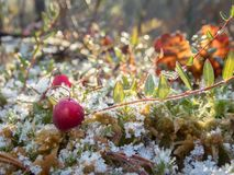 Frosty cranberry at a bog. Frosty cranberry plant with red berries and leaves at a bog stock photo