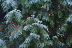 Frosty cypress Stock Photography