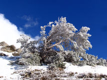 The frosty day. Frost pine branch sunny distance forest joy mood ice winter seasons Royalty Free Stock Image