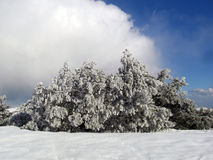 The frosty day. Frost pine branch sunny distance forest joy mood ice winter seasons snow clouds Royalty Free Stock Photos
