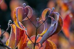 Frosty Dogwood Leaves, brotes en la caída, otoño, invierno Fotografía de archivo libre de regalías