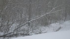 Frosty dry tree outdoors branches winter nature landscape in snowy the forest Russia. Frosty dry tree outdoors branches winter nature landscape in snowy forest stock video