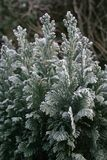 Frosty evergreen. Evergreen branches with frost crystals. Copy Space Stock Photos