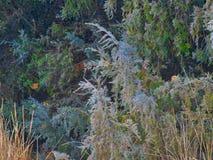 Frosty Evergreen Forest blu e verde fotografie stock libere da diritti