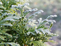 Frosty evergreen heralds the end of fall and beginning of winter. Stock Images