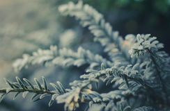Frosty Evergreen Tree. Closeup Of Frost Covered Tree Needles With Copy Space Stock Photos