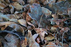 Frosty Fall Foliage. Ground covered with frosty fallen Fall or Autumn leaves on a cold day royalty free stock photo