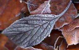 Frosty fall leaf. A fallen leaf in winter frost Stock Images