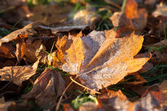 Frosty fallen autumn oak leaf. Frosty fallen autumn leaf in the glow of the morning sunlight. Golden leaves withering as every day passes Stock Photos