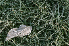 Frosty fallen leaf. Lying on frozen grass on a cold fall morning Royalty Free Stock Photo
