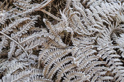 Frosty Fern Stock Photography