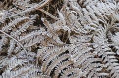 Frosty Fern Stock Photography