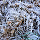 Frosty ferns Stock Photo