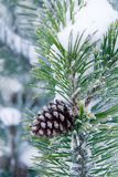 Frosty fir branch with cone. Frosty winter fir branch with cone Stock Images