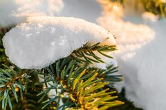 Frosty fir branch with snow on cold winter morning is illuminate. D by the sun. Closeup. Xmas theme Stock Photo