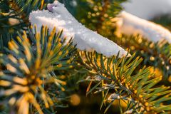 Frosty fir branch with snow on cold winter morning is illuminate. D by the sun. Closeup. Xmas theme Royalty Free Stock Photos