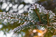 Frosty fir branch with snow on cold winter morning is illuminate. D by the sun. Closeup. Xmas theme Royalty Free Stock Image