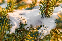 Frosty fir branch with snow on cold winter morning is illuminate. D by the sun. Closeup. Xmas theme Royalty Free Stock Photo