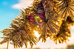 Frosty fir branch with snow on cold winter morning is illuminate. D by the sun. Closeup. Xmas theme Royalty Free Stock Images