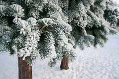Frosty fir-trees Royalty Free Stock Photo