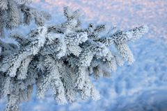 Frosty fir twig at sunset Stock Photos