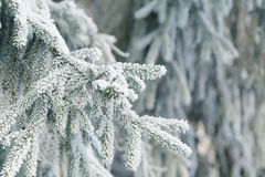 Frosty fir twigs in winter covered with rime Royalty Free Stock Images