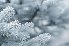 Frosty fir twigs in winter covered with rime Stock Photo