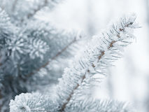 Frosty fir twigs in winter covered with rime Royalty Free Stock Photography